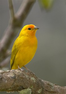 Saffron Finch Photos