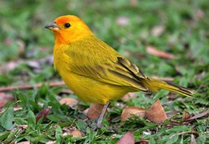 Saffron Finch Pictures