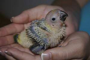 Sun Conure Chick