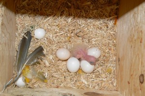 Sun Conure Eggs