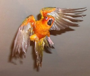 Sun Conure Flying