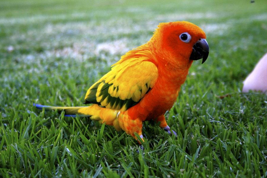 Sun Conures Flying Sun Conure Parrot