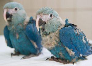 Baby Spix's Macaw
