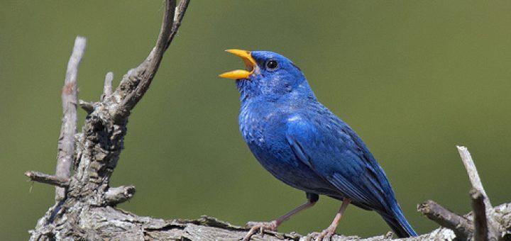 Blue Finch Bird