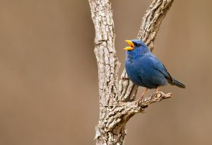 Blue Finch Bird Pictures