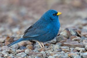 Blue Finch Images