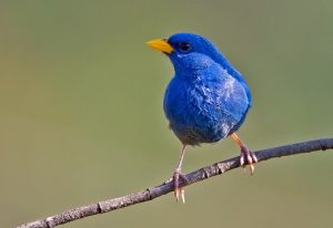 Blue Finch Pictures