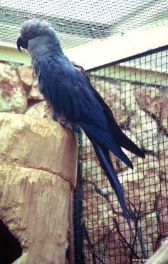 spixs macaw facts temperament pet care housing
