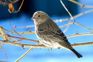 Female Blue Finch