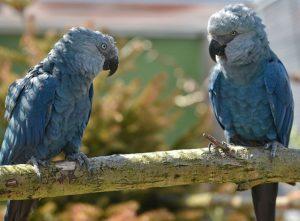 Spix's Macaw Birds