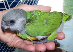 Baby Senegal Parrot