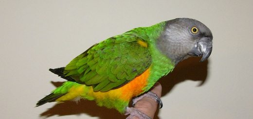 Senegal Parrot Bird