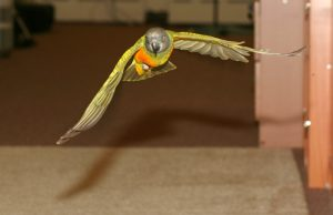 Senegal Parrot Flight