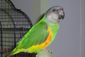 Senegal Parrot Images