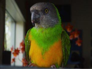 Senegal Parrot Pictures