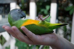 Senegal Parrot Size
