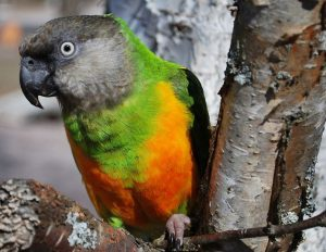 Senegal Parrot in the Wild