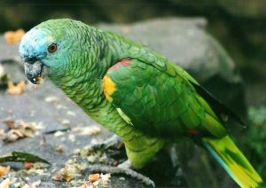 Amazon Blue Fronted Parrot