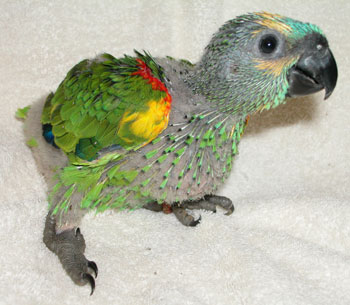 Blue Fronted Amazon Housing Care Behavior As Pet Pictures