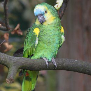 biru-fronted amazon Bird