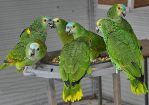 Blue Fronted Amazon Parrots