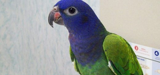 Blue Headed Pionus Parrot