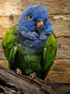 Blue Berambut pionus Pictures