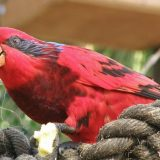 Blue Streaked Lory Bird Picture