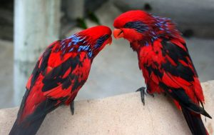 Blue Streaked Lory Birds