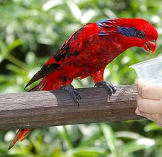 Blue Streaked Lory Pictures