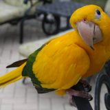 Golden Conure Bird