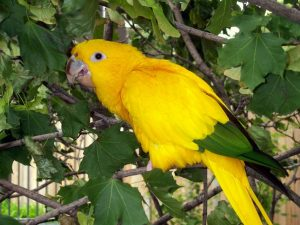 Golden Conure Pictures