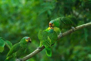 kuning halaman beo Amazon