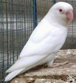 Albino Fischer's Lovebird