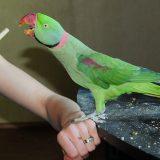Alexandrine Parrot Pictures
