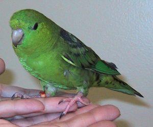 Katharina Parkit Burung