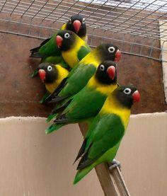 Black Masked Lovebirds