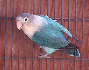 Blue Fischer's Lovebird