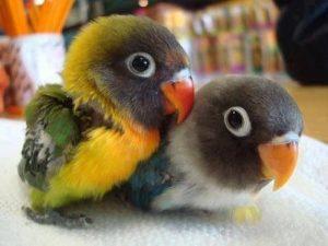 Fischer's Lovebird Baby