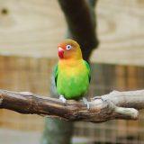 Fischer's Lovebird Images