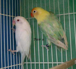 Fischer's Lovebird Mutations