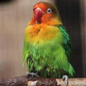 Fischer's Lovebird Pictures