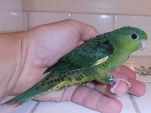 Green Lineolated Parakeet