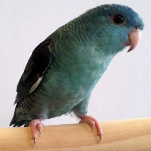 Lineolated Parakeet Blue