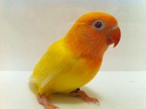 Lutino Fischer's Lovebird