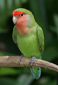 Gambar Peach Faced Lovebird