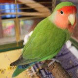 Peach Faced Lovebird Pictures