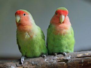 Peach dihadapi Lovebirds