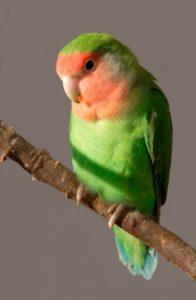 Rosy Face Lovebird