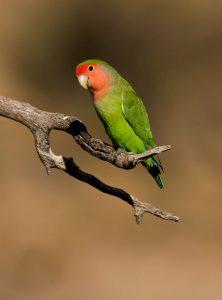 kemerahan berwajah Lovebird